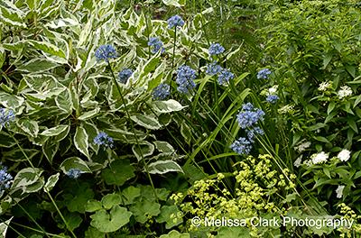 Allium caeruleum, Cornus alba Ivory Halo, planting combinations