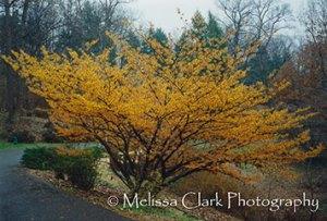 Hamamelis x intermedia 'Jelena', National Arboretum