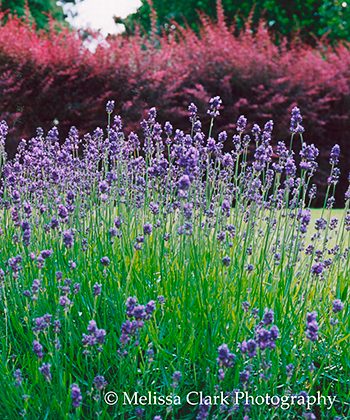 Barbery, lavender, planting combinations