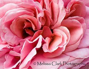Rose, Rosa 'Aloha'