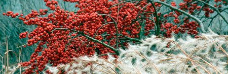 Winterberry, ornamental grasses, winter