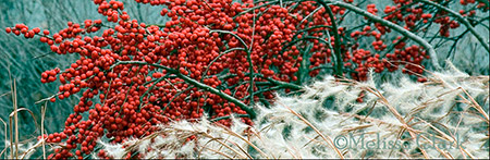winterberry, winter grasses, Ilex verticillata