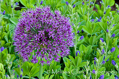 Allium Purple Sensation', Baptisia 'Purple Smoke'