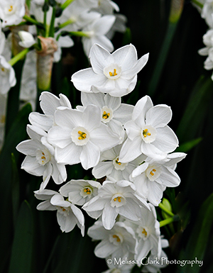Narcissus 'Erlicheer', Filoli Center