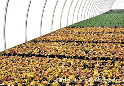 Heuchera, greenhouse