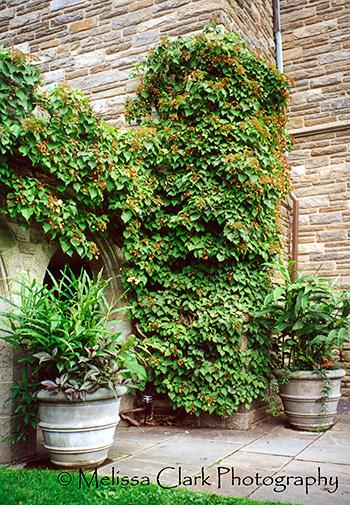 Schizophragma hydrangeoides, Swarthmore College, Swarthmore Arboretum