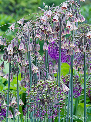Nectoscordum, Chanticleer Garden, allium