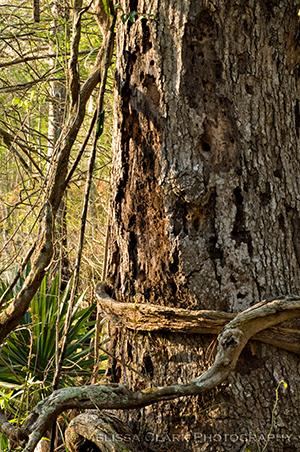 Cypress Gardens, Live oak bark