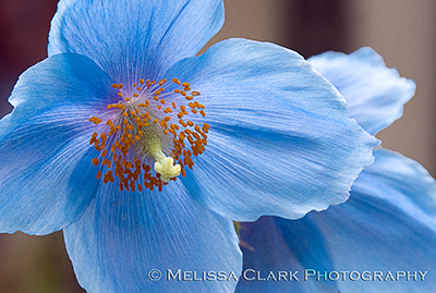 Chanticleer Garden, meconopsis, Himalayan blue poppy