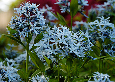 Amsonia taebermontana 'Blue Ice'