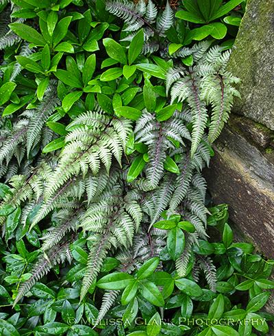 Japanese painted fern, Athryium nipponicum 'Pictum', skimmia