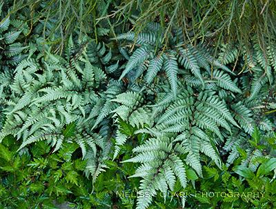 Athyrium niponicum 'Pictum,' astilbe, shade, plant combinations
