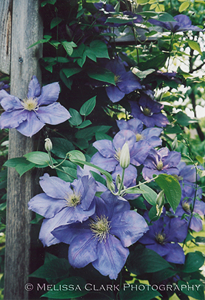 Clematis 'General Sigorsky'