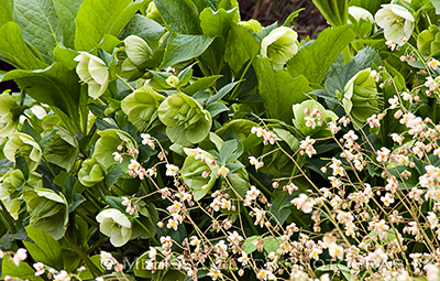 Hellebores, epimedium, shade plant combinations