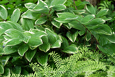 Solomon's seal, maidenhair fern, shade plant combinations