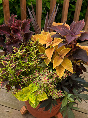 Coleus Alabama Sunset, Religious Radish, Ruby Jewels, Sky Fire, Red Ruffles, Pineapple Wizard