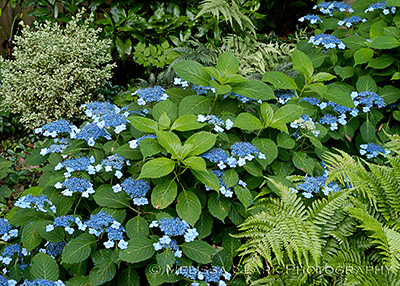 Hydrangea serrata 'Blue Billows'