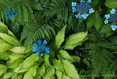 Hydrangea 'Blue Billows', Hosta 'Pineapple Upside Down Cake'