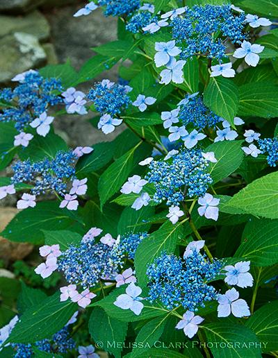 Hydrangea 'Lilacina'
