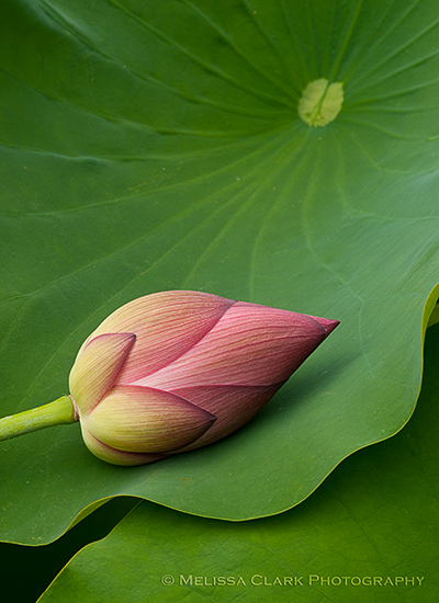 Lotus flower bud, Nelumbo nucifera