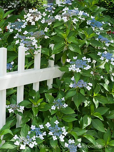 heavenly hydrangeas part 2 garden shoots. Black Bedroom Furniture Sets. Home Design Ideas