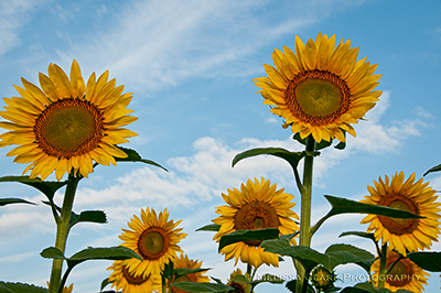 sunflowers, McKee-Beshers Wildlife Management Area