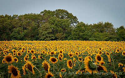 McKee-Beshers Wildlife Management area, sunflowers