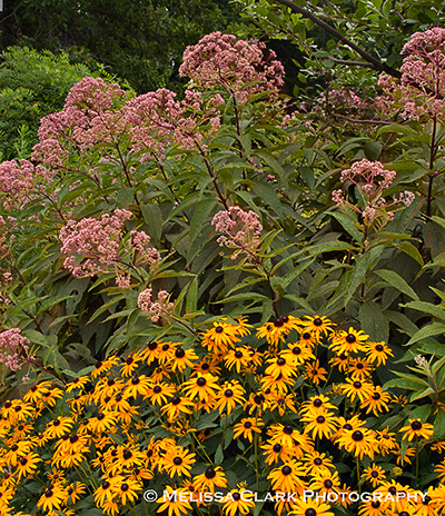 Eupatorum, rudbeckia, Green Springs Garden