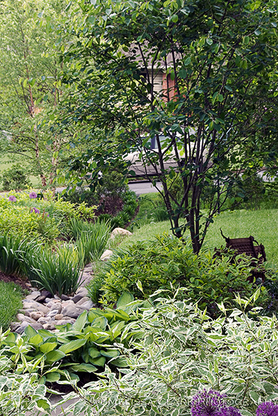 Dry streambed plantings, Amelanchier