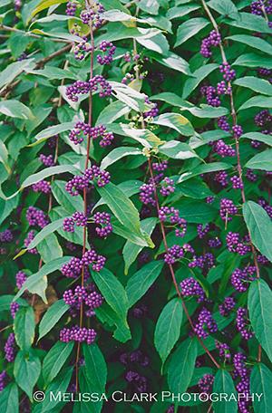 Callicarpa 'Issai', beautyberry