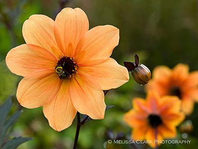 Orange single dahlia