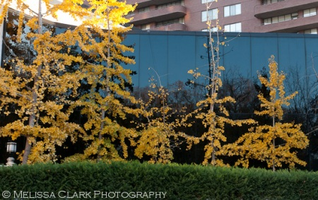 Gingko biloba, gingko trees