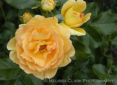 Rosa floribunda Eureka, floribunda rose, Brookside Garden Rose Garden