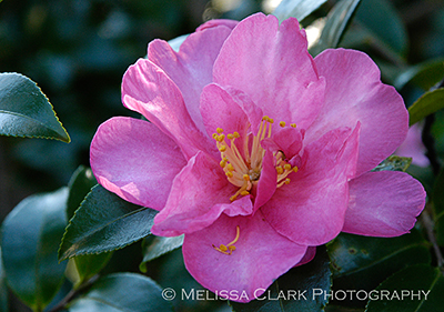 Camellia sasanqua 'Kanjiro', evergreen plants, evergreen screens