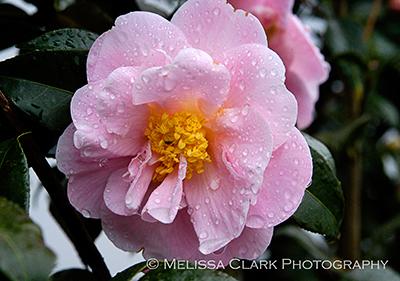 Camellia x 'Winter's Interlude', evergreen plants, evergreen screens