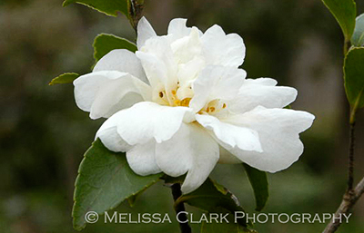 Camellia x 'Winter's Snowman', evergreen plants, evergreen screens