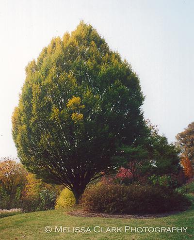 Carpinus betulus, European hornbeam