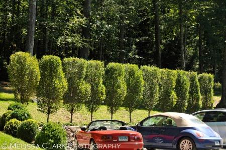 Carpinus betulus, fastigiate
