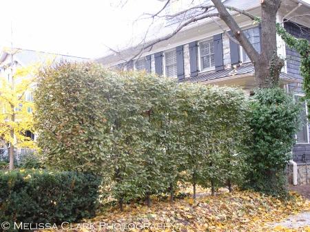 Carpinus betulus, hedge