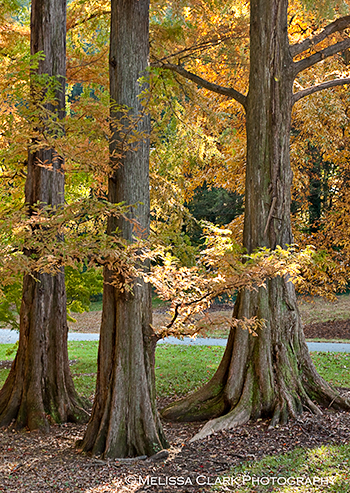 Metasequoia glyptostroboides, dawn redwood, National Arboretum