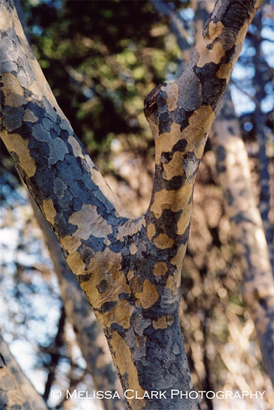 Cornus kousa bark, Kousa dogwood bark