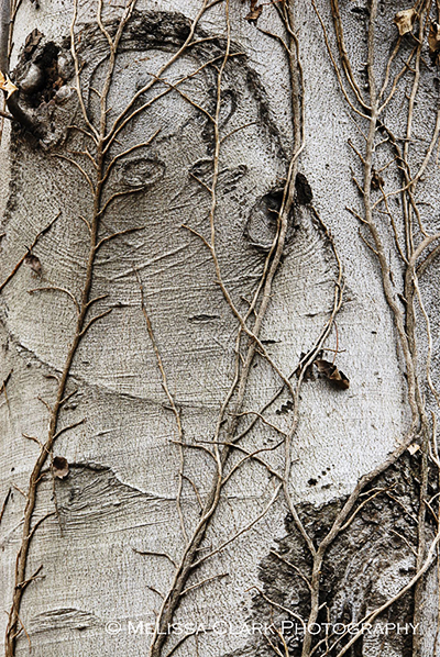 Fagus grandifolia bark, American beech