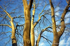 Fagus grandifolia branches, American beech