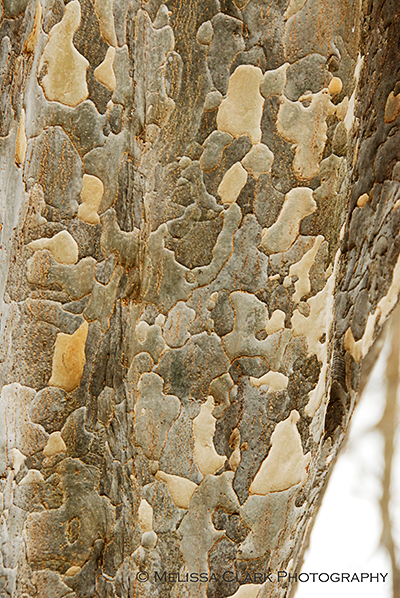 Parrotia persica, Persian parrotia tree, exfoliating bark