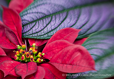 Lensbaby Compose; poinsettia, strobilanthes leaf