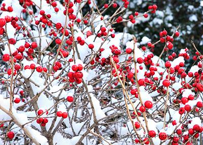 Ilex verticillata, winterberry