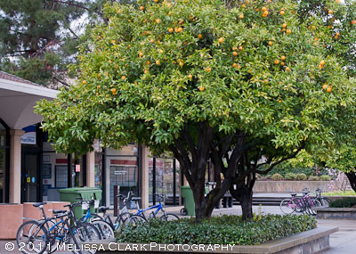 Stanford University, orange tree
