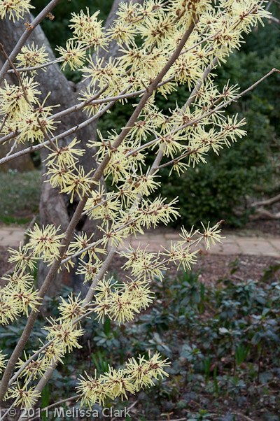 Hamamelis x 'Angelly', Dumbarton Oaks