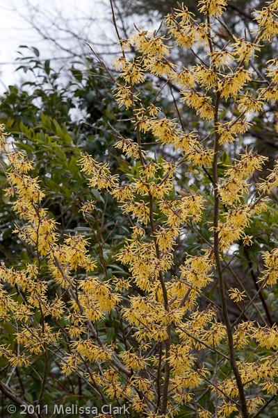 Hamamelis x intermedia 'Arnold Promise,' Dumbarton Oaks