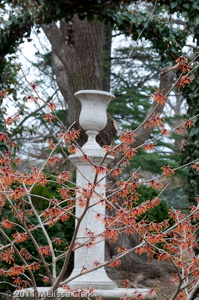 Hamamelis x intermedia, Dumbarton Oaks, winter shrubs